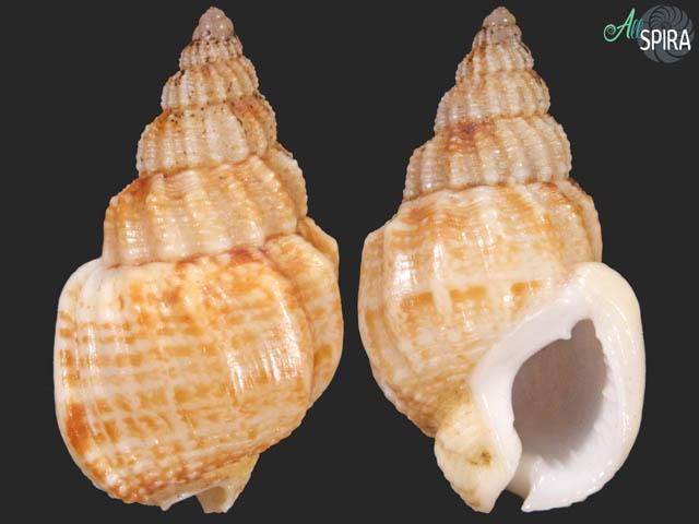 Nassarius angulicostis