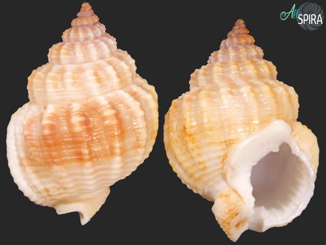 Nassarius aff catallus