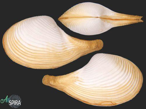 Cuspidariidae