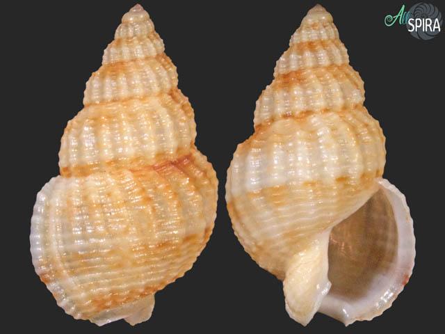 Nassarius nucleolus