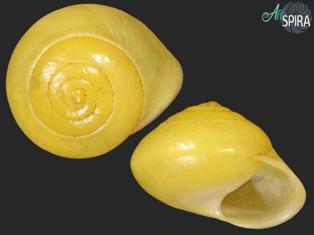 Helicina platychila