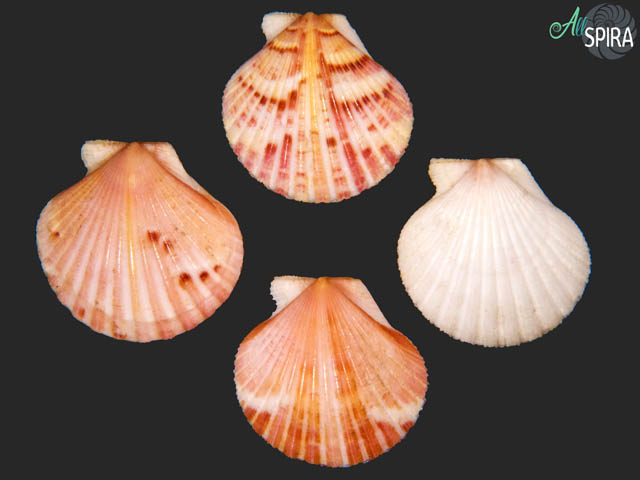 Aequipecten commutatus - SET 4 PCS