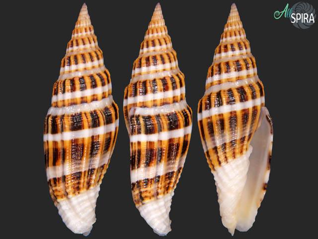 Vexillum flaveoricum