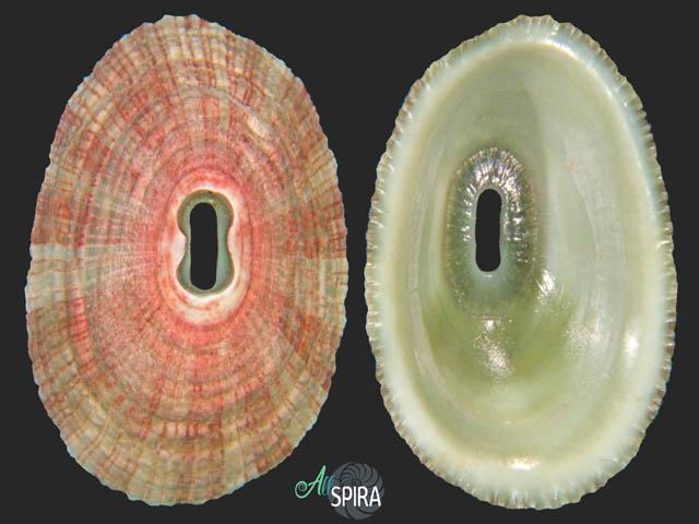 Fissurella virescens