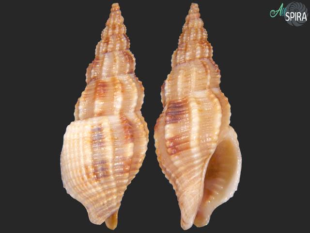 Strombinophos cumingii