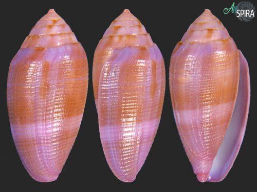 Conus granum