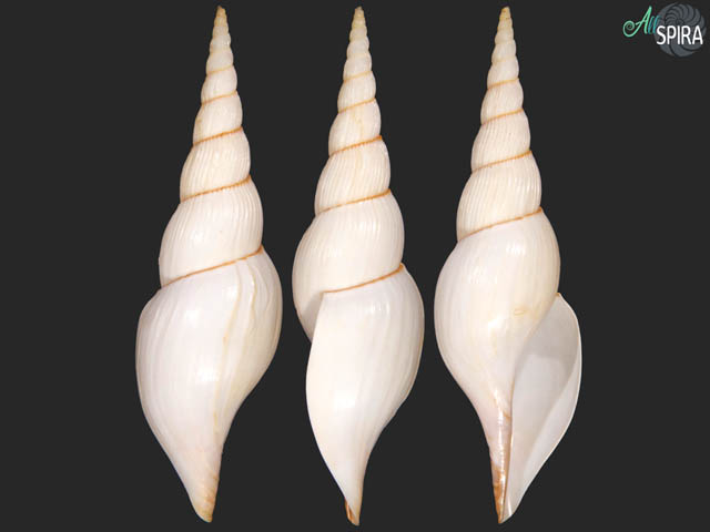 Calliotectum tibiaeforme dupreyae