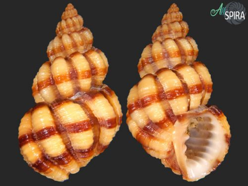 Scalptia mercadoi