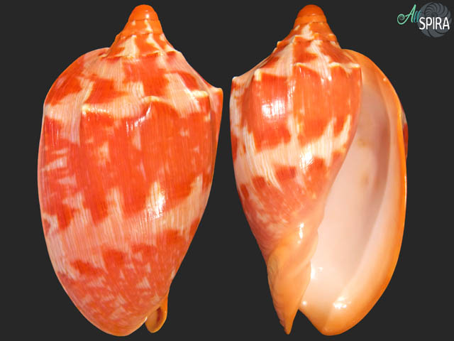 Cymbiola aulica - TOP RED