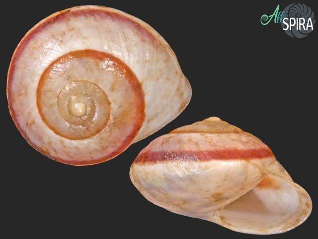 Helicina fasciata