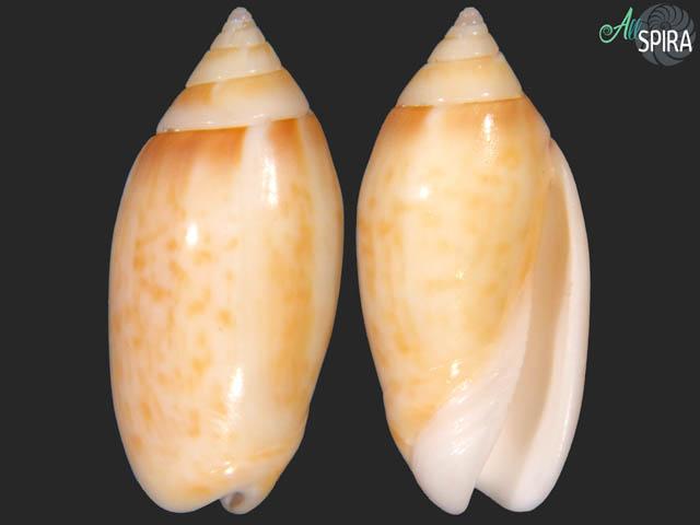 Oliva kaleontina