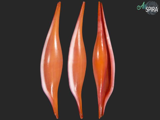 Phenacovolva rosea