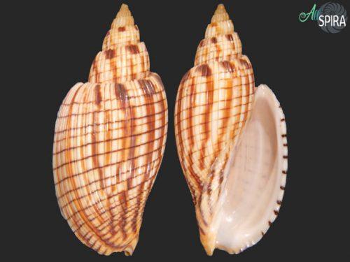 Callipara kurodai