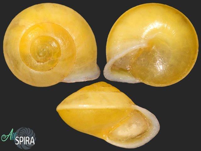Aphanoconia usukanensis