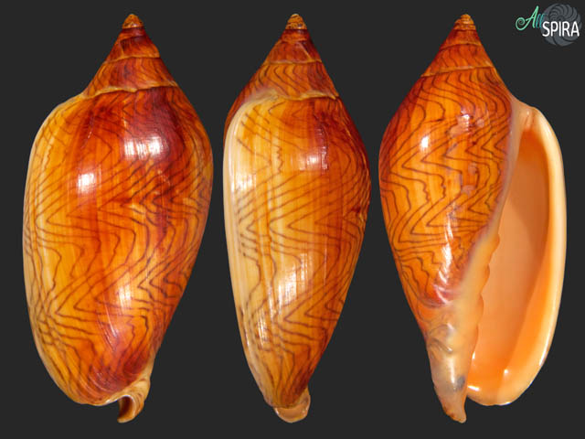 Amoria undulata - REDDISH