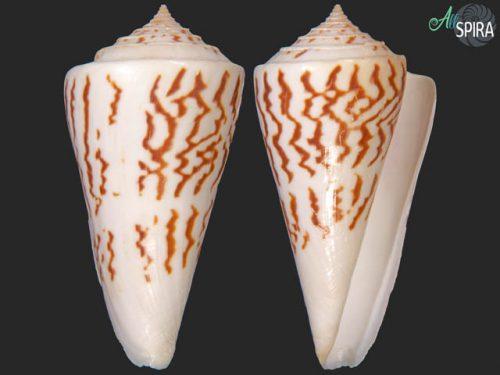 Conus emarginatus