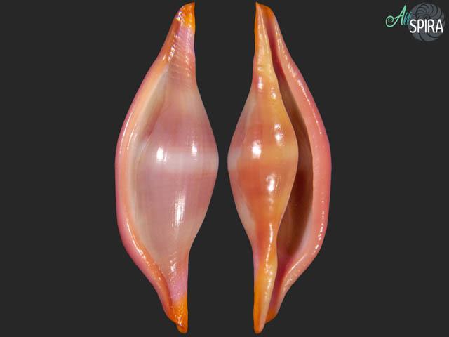 Phenacovolva brevirostris f barbieri