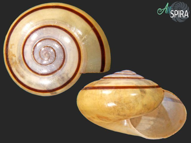 Vitrinula moluensis