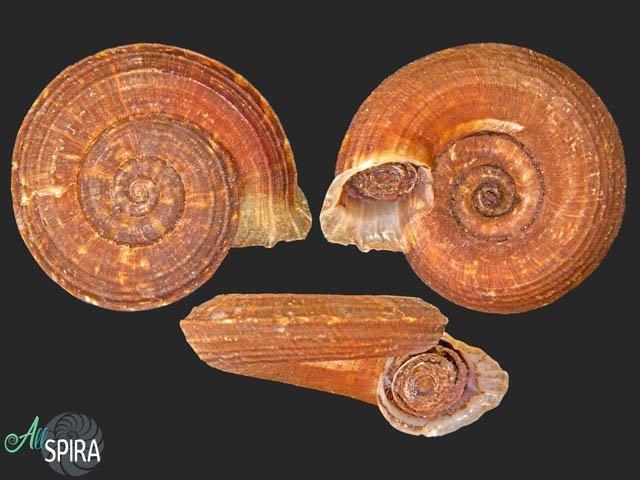 Pterocyclos niahensis
