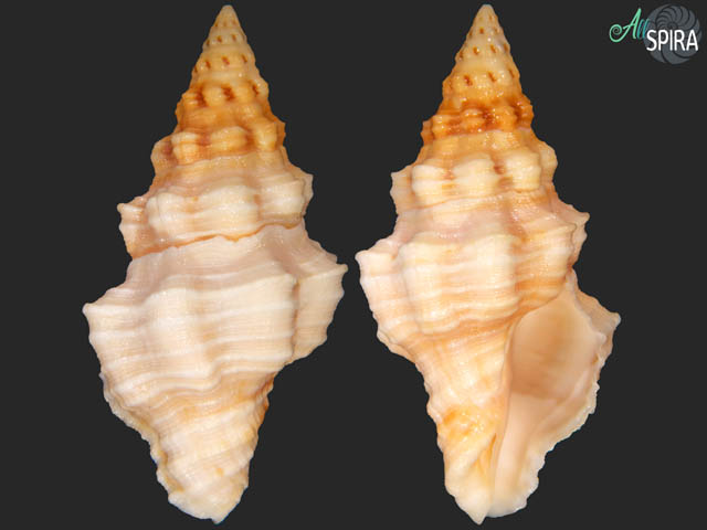 Hemipolygona carinifera