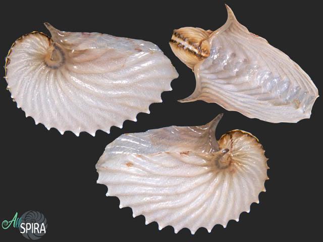 Argonauta argo - MEDITERRANEAN