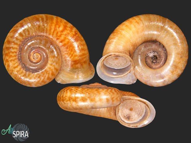 Pterocyclos tenuilabiatus