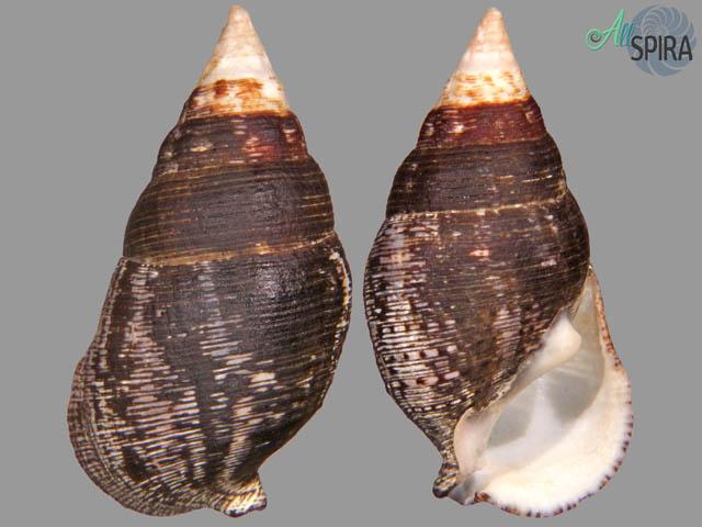 Cerithium adustum