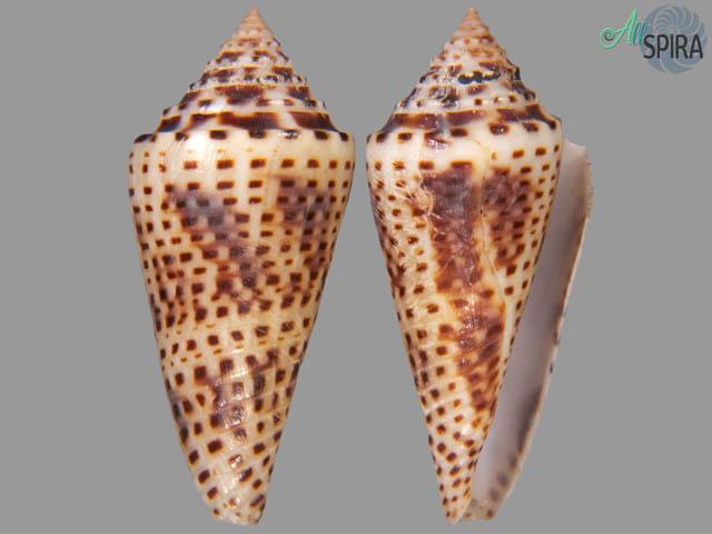 Conus tornatus