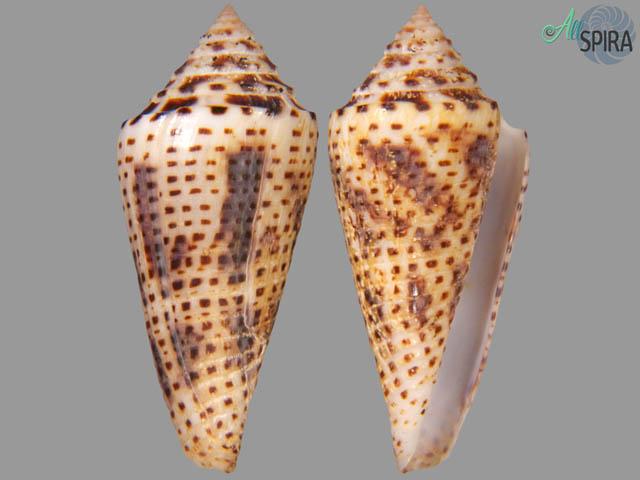 Conus tornatus - BIG SIZE