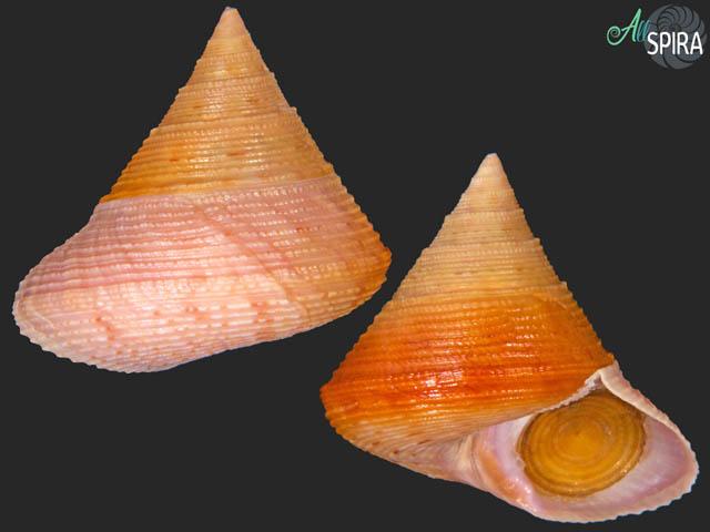 Calliostoma granulatum