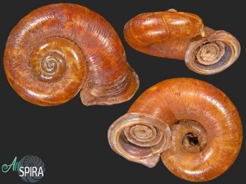 Opisthoporus gwendolenae