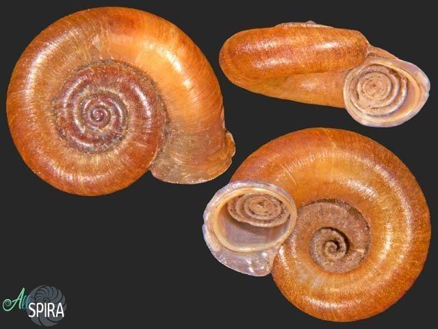 Pterocyclos amabilis