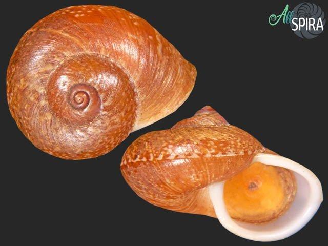 Cyclophorus cochranei