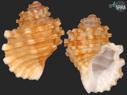 Cabestana cutacea f doliaria