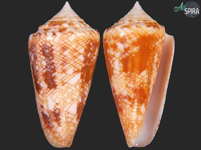 Conus glorioceanus