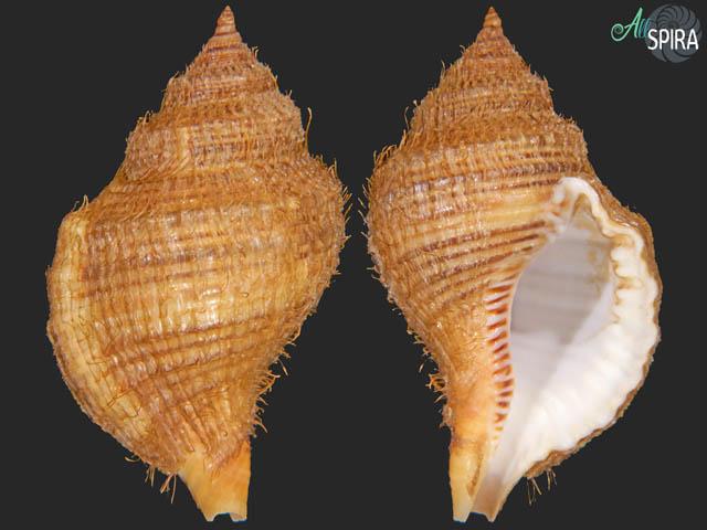 Monoplex tranquebaricus