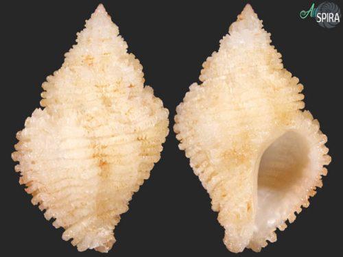 Coralliophila nivea