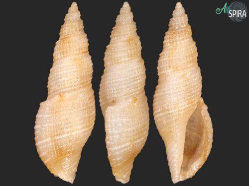 Daphnella saturata