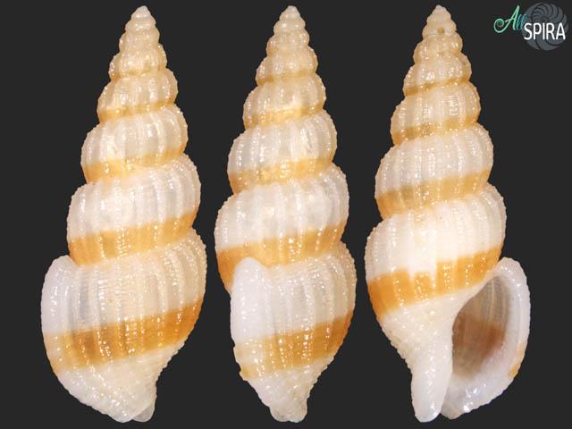 Antillophos armillatus