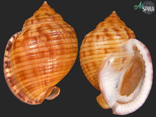 Semicassis undulata