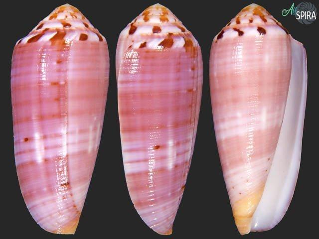 Conus circumcisus - TOP PURPLE