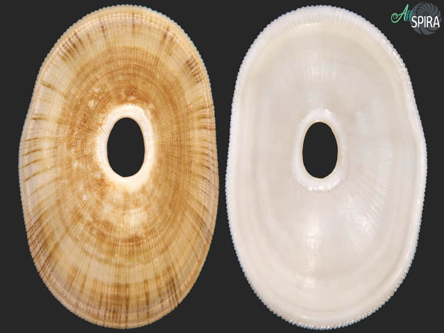 Megathura aff crenulata