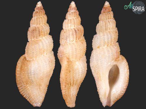 Daphnellopsis fimbriata