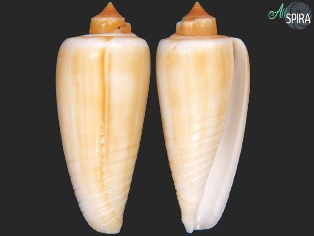 Conus radiatus - FREAK