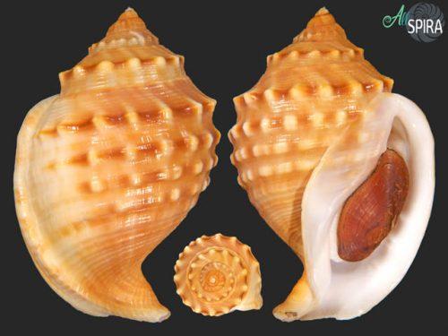 Galeodea echinophora echinophora