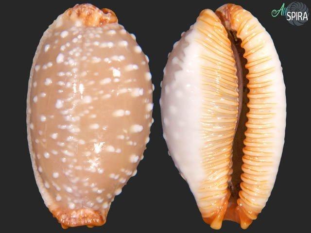 Staphylaea limacina limacina