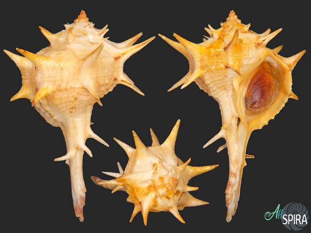 Bolinus brandaris - SPINY