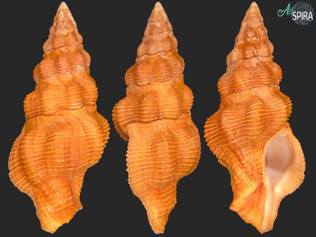 Latirus constrictus
