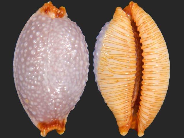 Staphylaea staphylaea