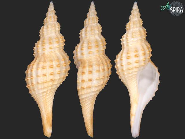 Granulifusus hayashii